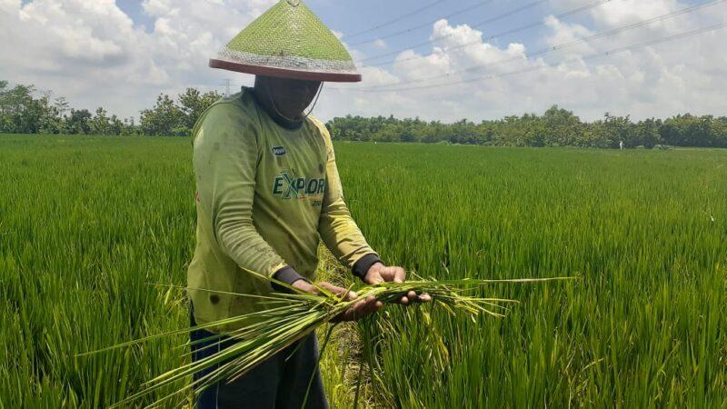 Kuota Pupuk Bersubsidi Dipangkas, Petani Kabupaten Madiun Cemas