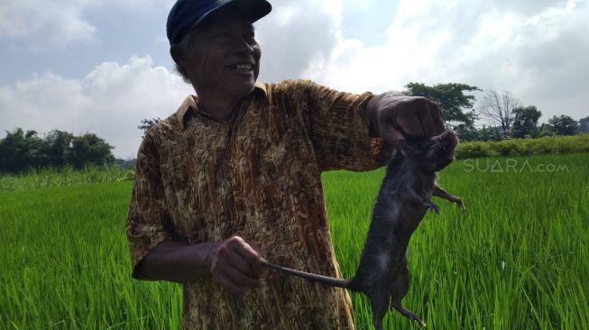 Merajalela, Tikus di Kediri Sebesar Anak Kucing