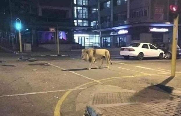 Heboh Rusia Lepas Singa Agar Warganya Tak Keluar Rumah, Ini Faktanya