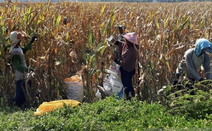 Konsep Pertanian Cerdas Iklim Di Jember, Ini Penjelasannya