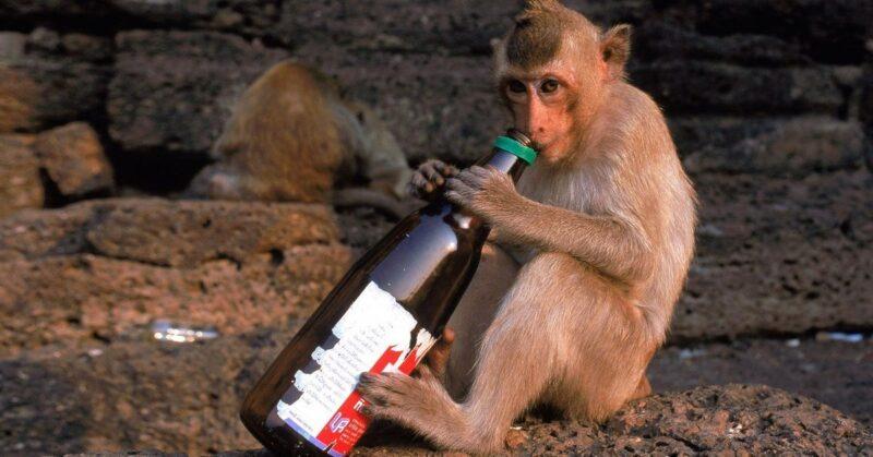 Seekor Monyet Alkoholik Tewaskan Satu Orang dan Lukai Ratusan Korban