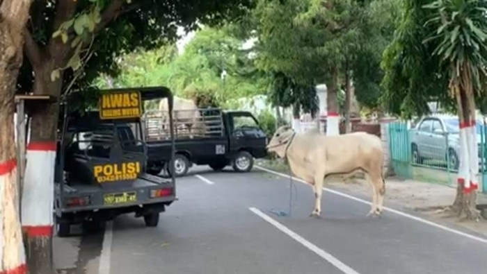 Waduh! Sapi Kurban Lepas dan Seruduk Polisi di Blitar