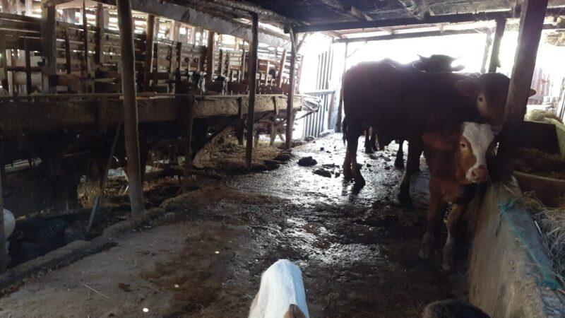 Peternakan Kambing dan Sapi di Madiun Didatangi Dokter Hewan, Kenapa?