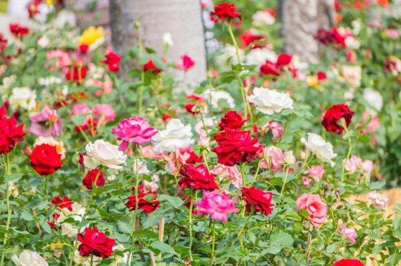 Wow, Kecamatan di Kota Batu Ini Jadi Penghasil Bunga Mawar Terbesar di Indonesia