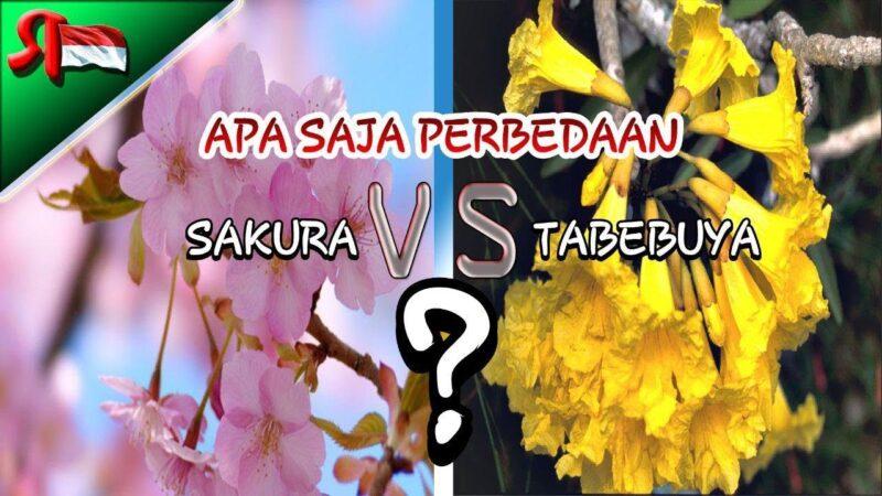 Inilah Perbedaan Bunga Sakura dan Bunga Tabebuya yang Kembali Mekar di Surabaya