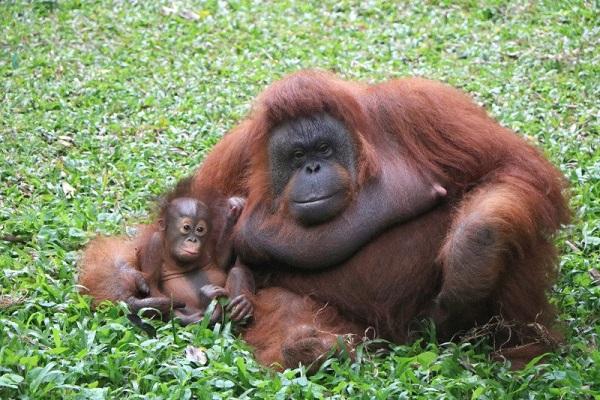 Ini Nanda, Orangutan Penghuni Baru Taman Safari Prigen Pasuruan