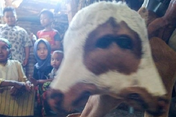 Unik! Anak Sapi di Probolinggo Lahir dengan Dua Kepala