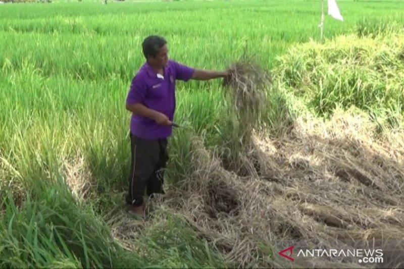 Hama Wereng Menyerang, Seratusan Hektare Tanaman Padi di Madiun Terancam Gagal Panel