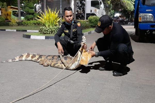Bikin Resah, Buaya 2 Meter Peliharaan Warga Surabaya Dievakuasi