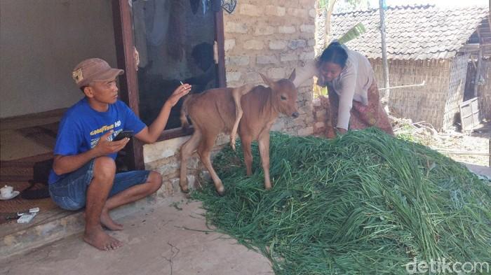Anak Sapi Berkaki Lima Lahir di Jombang, Banyak Warga Penasaran