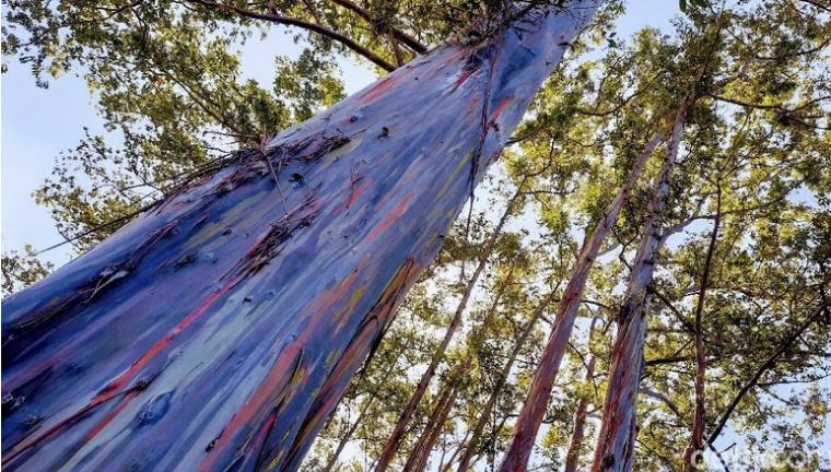 Unik, Ada Hutan Pelangi di Bondowoso yang Tingginya Bisa 25 Meter