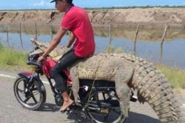 Buaya 3 Meter Diajak Motoran, Pria Meksiko Ini Viral di Indonesia