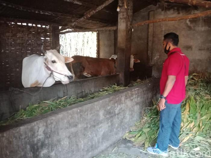 Hanya Semalam, 6 Ekor Sapi Limousin Milik Warga di Jombang Dicuri