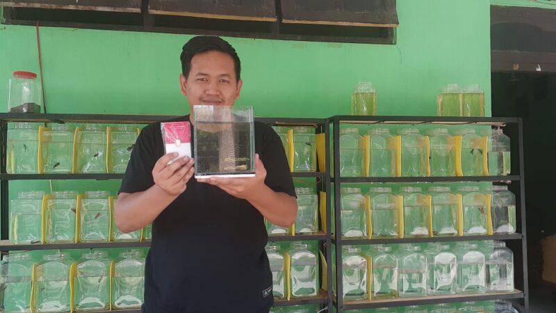 Mantap! Di Madiun, Emas Batangan Dibarter Ikan Cupang Super Gold