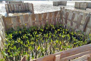 Bibit mangrove pada pelaksanaan program Padat Karya Penanaman Mangrove yang dilakukan BPDASHL Solo. (istimewa)
