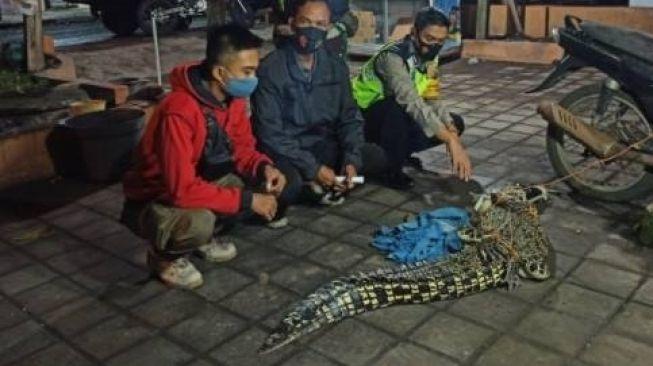 Bikin Gempar, Buaya 2 Meter Ditangkap Warga Sidoarjo