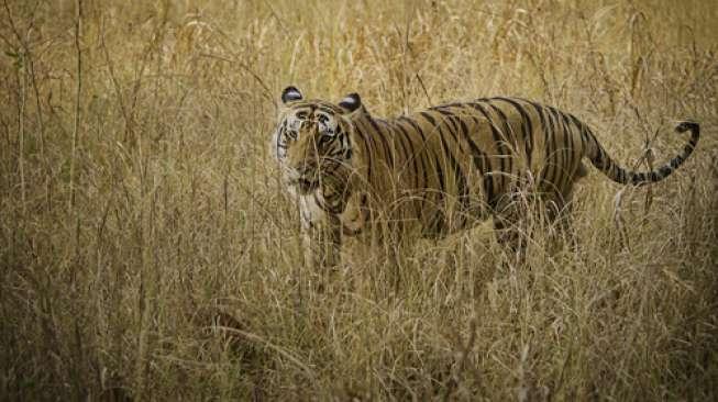 Tulungagung Geger, Harimau Terlihat di Lereng Gunung Wilis
