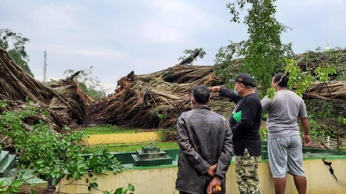 Lumajang Hujan Deras, Beringin di Alun-Alun Tumbang Terbelah Tiga