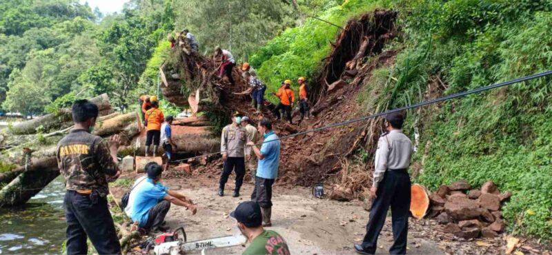 Hujan Deras, Pohon Karet Berusia 100 Tahun di Telaga Ngebel Tumbang