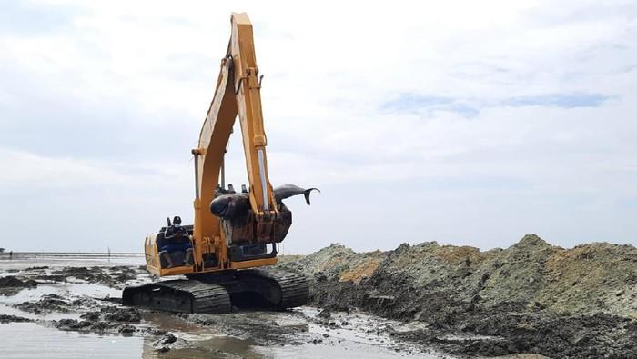 Puluhan Bangkai Paus yang Terdampar Dikubur di Bibir Pantai Bangkalan