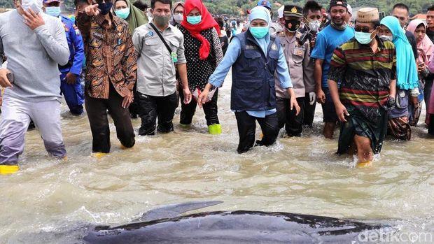 49 Paus Pilot Terdampar di Pantai Bangkalan, Hanya 3 Ekor yang Hidup