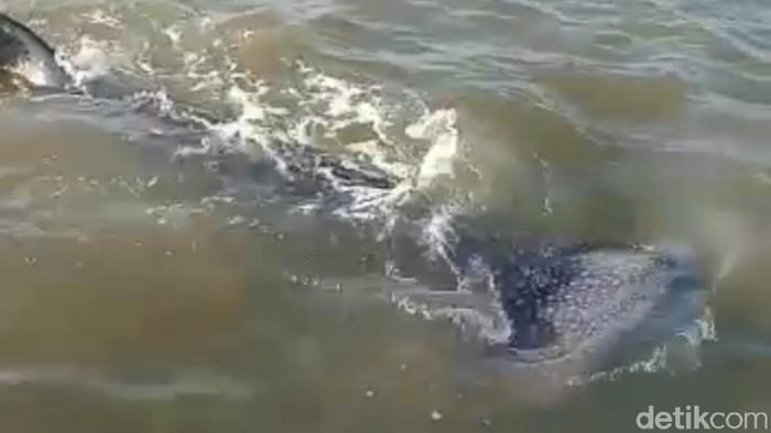 Kawanan Hiu Paus Berenang di Perairan Dangkal Pasuruan, Nelayan Diminta Tak Ganggu